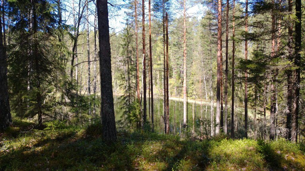 Metsälampi näkyy puuston välistä, etualalla vihreää maastoa.